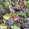 aronia_fruit