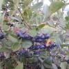 aronia_fruit2