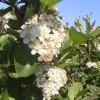 aroniaflower